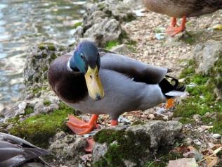 Awkward duck